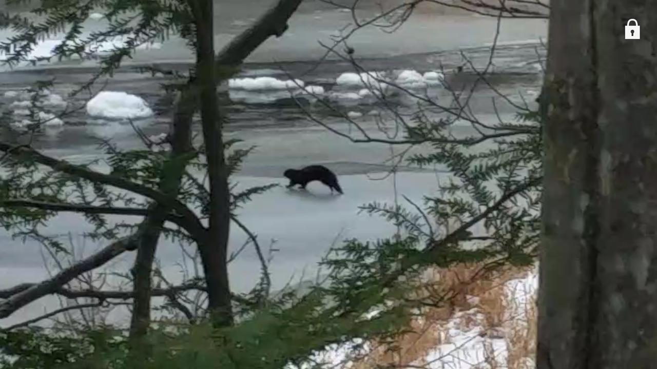 river mink